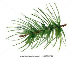 Pine Leaf Stock Vectors & Vector Clip Art   Shutterstock