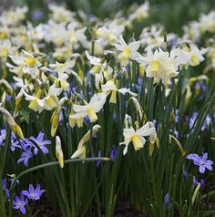 Buy miniature daffodil bulbs Narcissus 'Toto': Delivery by Crocus