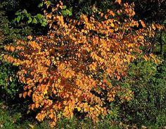 Corylopsis pauciflora in fall -yellow or orange