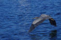 Taken in Sidney, BC.  at Robert's Bay Bird Sanctuary