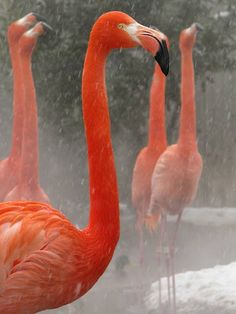 greater flamingos in the snow (photo by olivia ambrigio)