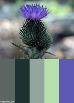 Purple Milk Thistle Flower In Bloom Color Scheme from colorhunter.com