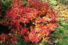 Fothergilla major fall color