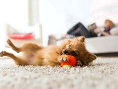 Best Apartment Dogs For You! Do you have a smaller home or apartment but want a pet? What are the best apartment dogs? What you need to know to make the right decision! Cavalier King Charles, Charles Spaniel, Bichon Frise, Best Dog Breeds, Best Dogs, Pugs, Welsh Corgi Pembroke, Best Apartment Dogs, Dog Food Brands