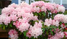 Rhododendron 'Mardi Gras' Photo by Jan R. Fuller