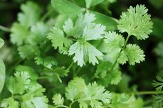 Curtis Stone's Cilantro Dressing: Add a fresh coating to a salad with this Southern-style dressing.