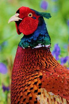 Pheasant with super colour.