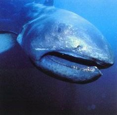 Megamouth Shark-This shark is an extremely rare and unusual species of deep water shark. Discovered in 1976, only a few have ever been seen, with 39 specimens known to have been caught or sighted as of 2007 and three recordings on film. Like the basking shark and whale shark, it is a filter feeder, and swims with its enormous mouth wide open, filtering water for plankton and jellyfish.