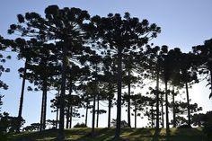 Imponência. Araucárias na área rural de Campo Largo, Paraná BRASIL