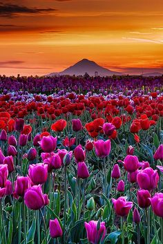 Sunrise in Woodburn Tulip Fields, Oregon---love to visit for the spectacular scenery and the quite reasonable tulips, which I always buy by the armful. Beautiful World, Beautiful Places, Beautiful Pictures, Beautiful Sunset, Image Nature, Tulip Fields, Field Of Tulips, Amazing Nature, Belle Photo