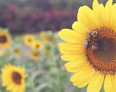 """""""Summer Sunflower""""- Close up of the bees working this sunflower on a hot Summer…"""