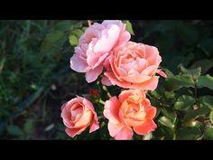 Прекрасные розы в сентябре. Какие розы цветут осенью?  Розы с повторным цветением. Неприхотливые розы, которые надежно зимуют. Это розы для начинающих - зимостойкие и устойчивые. Розы, которые не подводят.