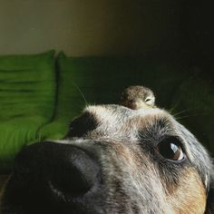 Apple Moonbeam the baby squirrel was adopted by 2 dogs, Scout & Maverick!