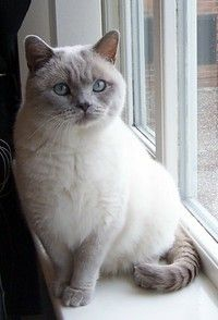 BRITISH SHORTHAIR CREAM/ LILAC COLOUR POINT - Free To Good Home