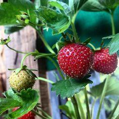 Der tägliche Blick über die eigene 'Erdbeer Hazienda' auf'm Balkon :-) Keine Ahnung warum - aber die eigenen Beeren Kräuter und Bohnen (Salat und Tomaten brauchen noch was) schmecken einfach besser... #duesseldorf #bilk #urban