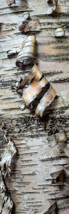 Birch bark - roll into beads for another natural crafting material?