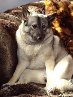 Torfi Norwegian Elkhounds & Swedish Vallhunds. Scout the elkhound.