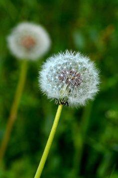 British Wild Flower - Dandelion - Taraxacum officinalis.