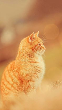 Love this orange tabby cat!