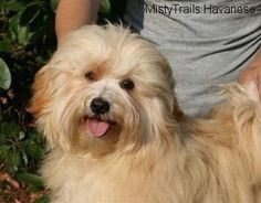 Pretty Red Gold Tan Girl from Mysti / Blondo litter at 7 1/2 months old - Courtesy of MistyTrails Havanese