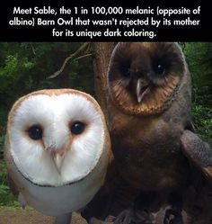 """awwww-cute: """" Meet Sable, the 1 in melanic (oppsite of albino) Barn Owl that wasn't rejected by its mother for its unique dark coloring :) (Source: http:& """" Cute Funny Animals, Cute Baby Animals, Funny Cute, Animals And Pets, Cute Creatures, Beautiful Creatures, Animals Beautiful, Beautiful Owl, Animal Facts"""