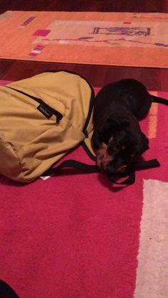 My precious Dachshund! #dachshund #teckel #black #red #dog #puppy