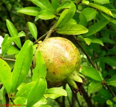Shegë - Grenade - Pomegranate