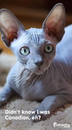 Despite its Egyptian-sounding name, Sphynx cats actually originated in Ontario, Canada! They were even once known as Canadian Hairless Cats. #SphynxCat