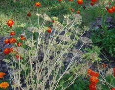 Kiskertünk védelme gyógynövényekkel - Kapanyél Plants, Flora, Plant, Planting