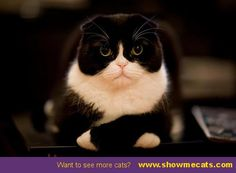 This cat is so cute with his paws crossed! - #showmecats #thegrumpy