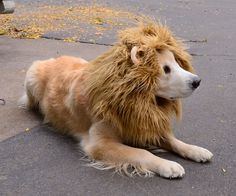 Almost so cute it hurts. Think every dog should have their own lion's mane. Great tutorial.