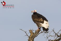 Arguably the most attractive of Africa's Vultures, the White-headed Vulture. Kruger National Park. 23 November, Kruger National Park, Vulture, Bald Eagle, Safari, Africa, Animals, Animales, Animaux