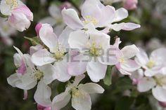 fleur de pommier: Closeup apple blossom in the wild in Hungary