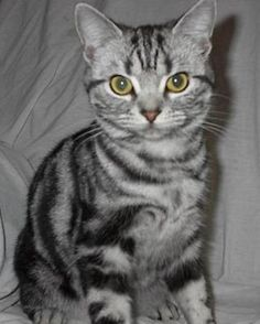 American Shorthair Cat Interesting Facts
