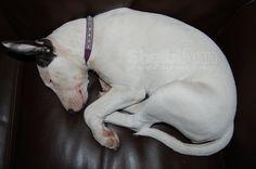 #English bull terrier #bull terrier #dog #white