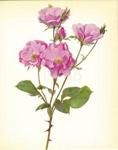 SALE Pink Rose Print Botanical Flower Print by TheWholeBook