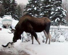 Reindeer?Elk?