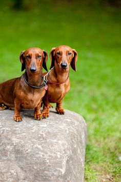 Two dachshunds, Picture of dog