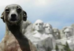 President's Day - Italian Greyhound