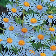 Aster Daisies... unusual color!
