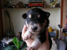 Nero puppy (husky/shepherd mix)