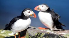 Counting the Farne Island puffins