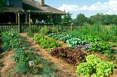 Stock Photo - Large fenced-in vegetable garden grows in full sun in early summer in backyard directly off deck of house