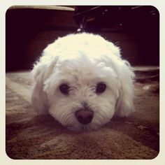 another maltese