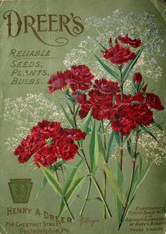 Dreer's Reliable Seeds, Plants, Bulbs.'Everblooming Hybrid Sweet William and Gypsophila panicula or Baby's Breath'. ...