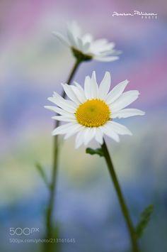 Daisy time -