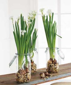 Winter Flower Decor... Paperwhites  I love these blooming inside in the dead of winter!  To make them even more fragrant; add a tablespoon of gin when you plant them. No more, or they get too leggy.