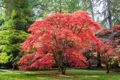 Acer Palmatum (Japanese Maple) Zone 9 tall and wide Japanese Tree, Japanese Maple, Deciduous Trees, Flowering Shrubs, Landscaping With Roses, Orchid Roots, Trees For Front Yard, Easy Care Plants, Types Of Vegetables