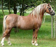 Welsh Mountain Pony section A stallion, Vierhoeks Figo.