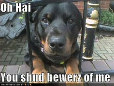 Funny Rottweiler Pictures
